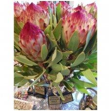 Gyva gėlė Protea su sveikinimu